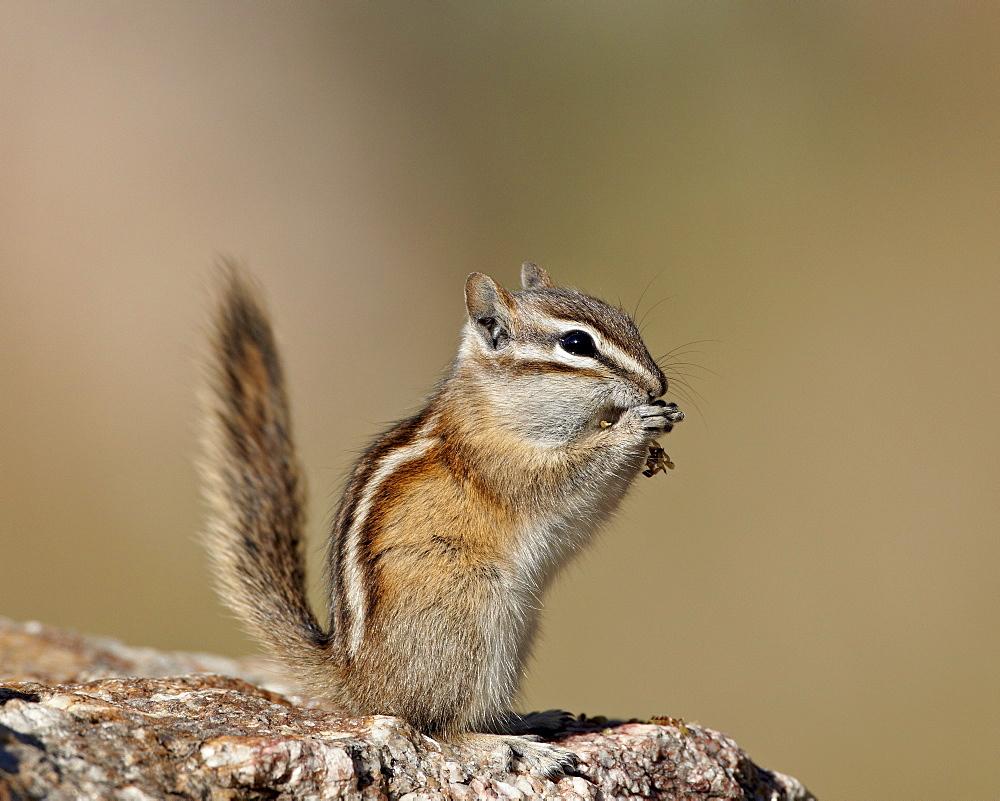 Least Chipmunk (Neotamias minimus) eating, Custer State Park, South Dakota, United States of America, North America