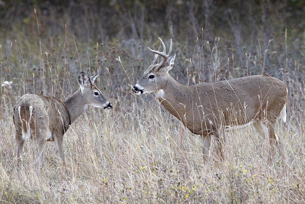 Two white-tailed deer (whitetail deer) (Virginia deer) (Odocoileus virginianus) bucks, Custer State Park, South Dakota, United States of America, North America