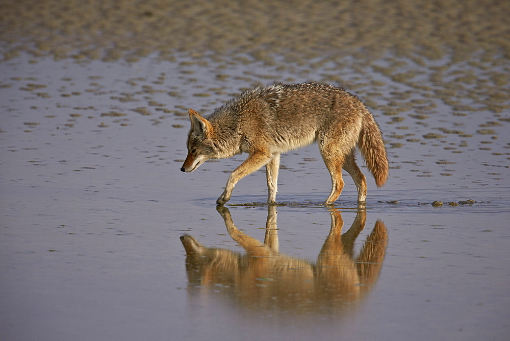 Coyote (Canis latrans), Antelope Island State Park, Utah, United States of America, North America