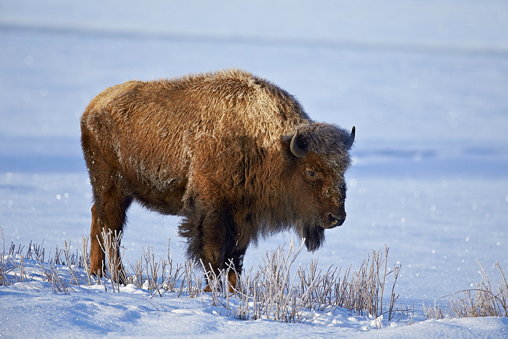 Bison (Bison bison) in the snow, Yellowstone National Park, Wyoming, United States of America, North America