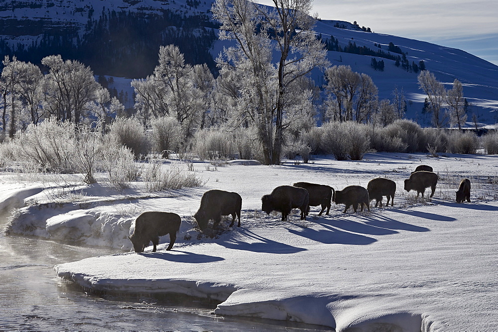 Bison (Bison bison) cows in the snow with frost-covered trees in the winter, Yellowstone National Park, UNESCO World Heritage Site, Wyoming, United States of America, North America