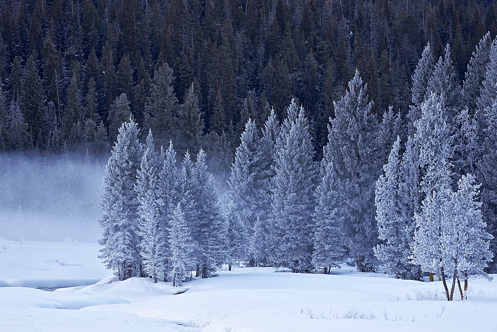 Frost-covered evergreen trees, Yellowstone National Park, UNESCO World Heritage Site, Wyoming, United States of America, North America