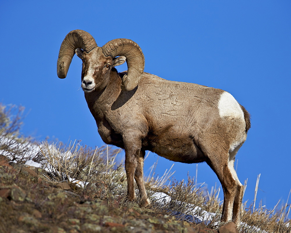Bighorn Sheep (Ovis canadensis) ram in the snow, Yellowstone National Park, Wyoming, United States of America, North America