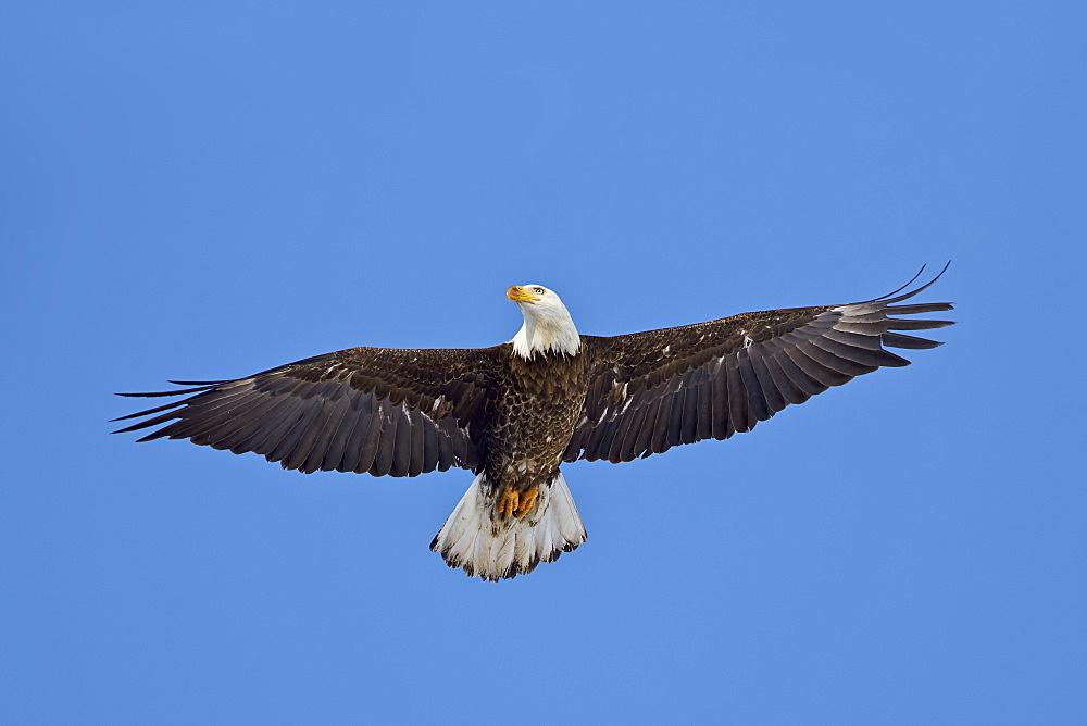 Bald Eagle (Haliaeetus leucocephalus) flying, Yellowstone National Park, Wyoming, United States of America, North America
