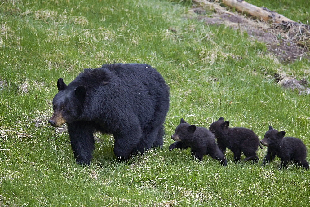Black bear (Ursus americanus) sow and three cubs of the year, Yellowstone National Park, UNESCO World Heritage Site, Wyoming, United States of America, North America
