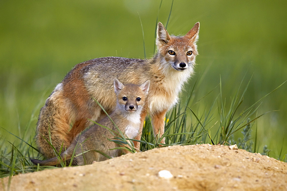 Swift fox (Vulpes velox) adult and kit, Pawnee National Grassland, Colorado, United States of America, North America