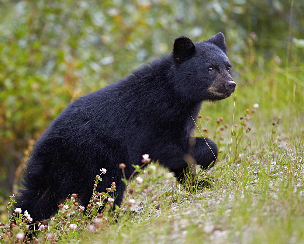 Black bear (Ursus americanus) cub of the year in the fall, Jasper National Park, UNESCO World Heritage Site, Alberta, Canada, North America