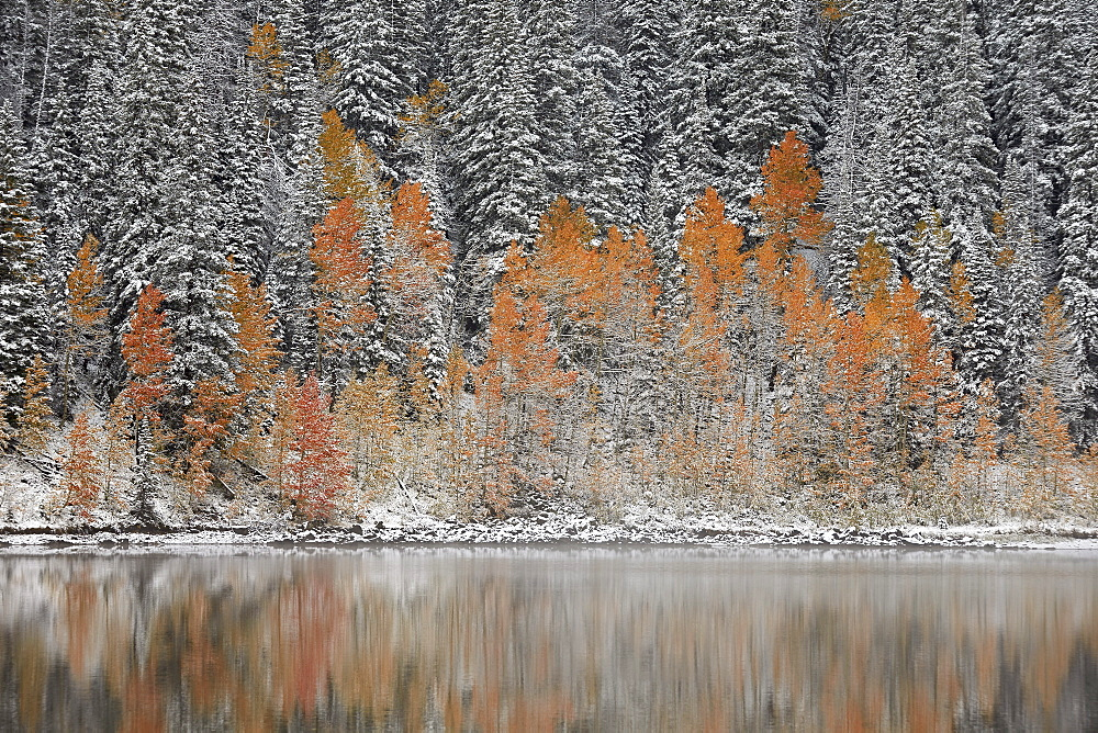 Orange aspens in the fall among evergreens covered with snow at a lake, Grand Mesa National Forest, Colorado, United States of America, North America
