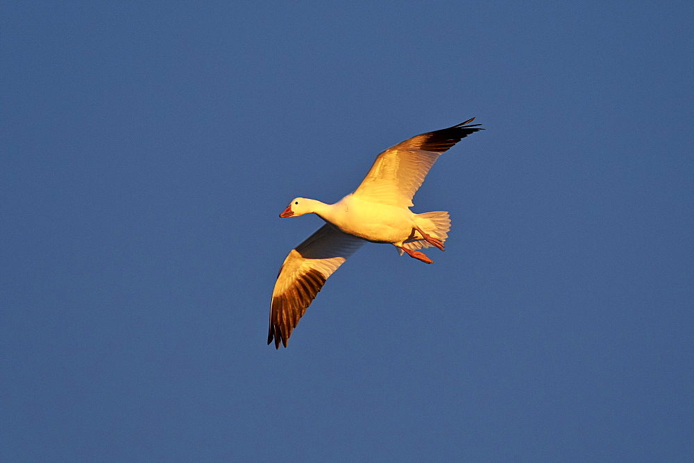 Snow goose (Chen caerulescens) in flight, Bosque del Apache National Wildlife Refuge, New Mexico, United States of America, North America