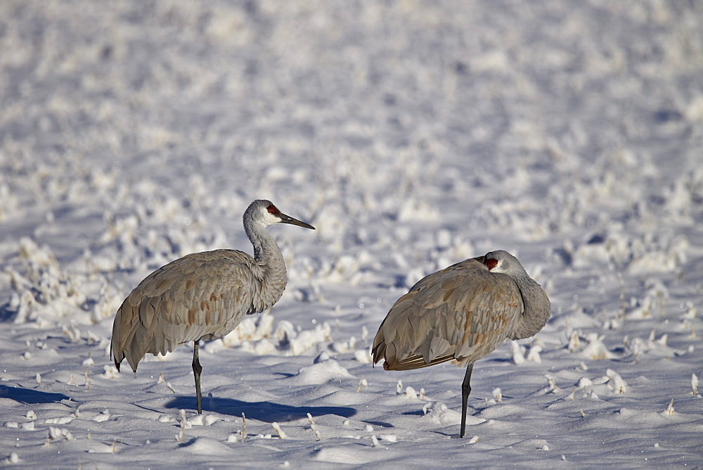 Two sandhill crane (Grus Canadensis) in the snow, Bosque del Apache National Wildlife Refuge, New Mexico, United States of America, North America