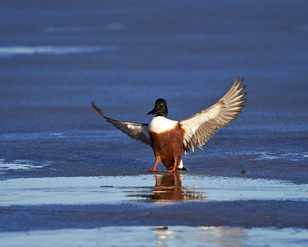 Northern shoveler (Anas clypeata) male landing on a frozen pond in the winter, Bosque del Apache National Wildlife Refuge, New Mexico, United States of America, North America