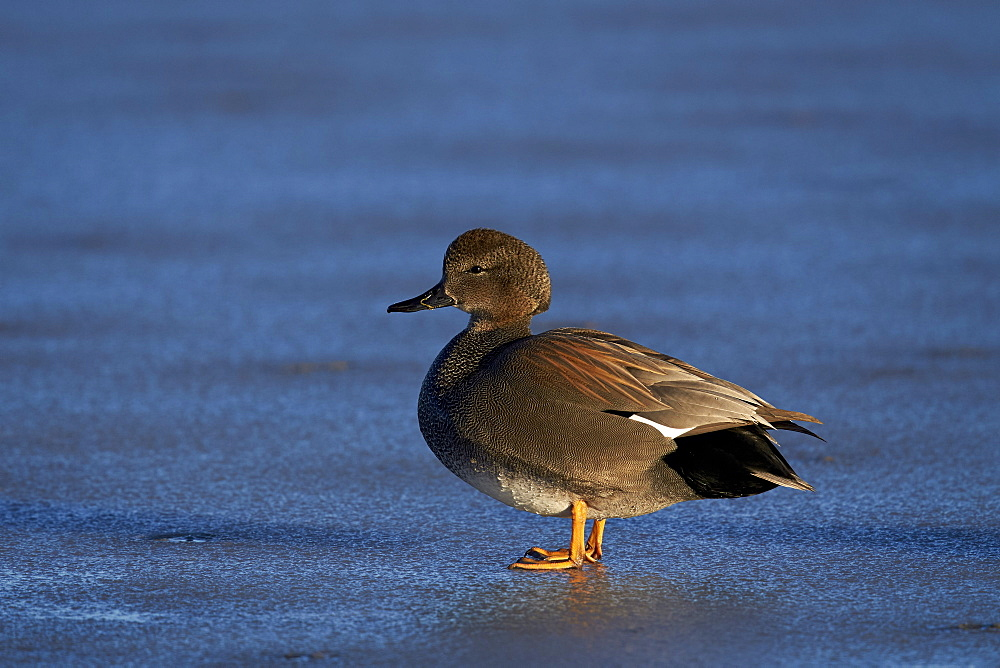 Gadwall (Anas strepera) male standing on a frozen pond in the winter, Bosque del Apache National Wildlife Refuge, New Mexico, United States of America, North America