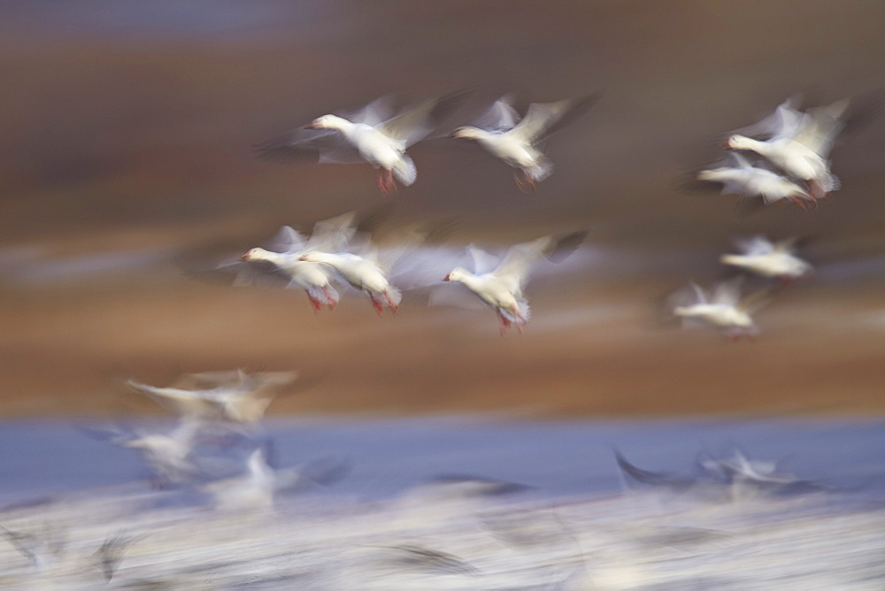 Snow goose (Chen caerulescens) flock in flight, Bosque del Apache National Wildlife Refuge, New Mexico, United States of America, North America