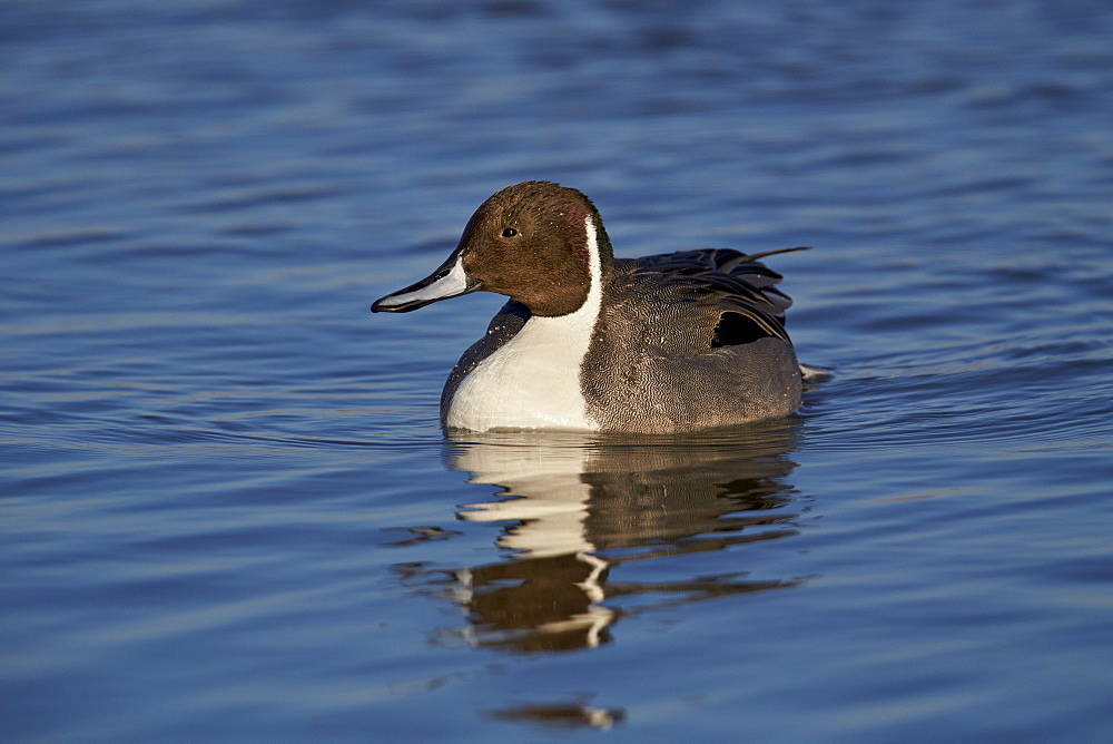 Northern pintail (Anas acuta) male swimming, Bosque del Apache National Wildlife Refuge, New Mexico, United States of America, North America