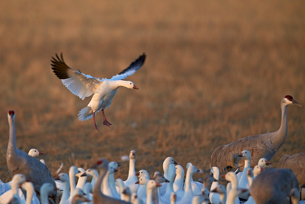 Snow goose (Chen caerulescens) landing, Bosque del Apache National Wildlife Refuge, New Mexico, United States of America, North America