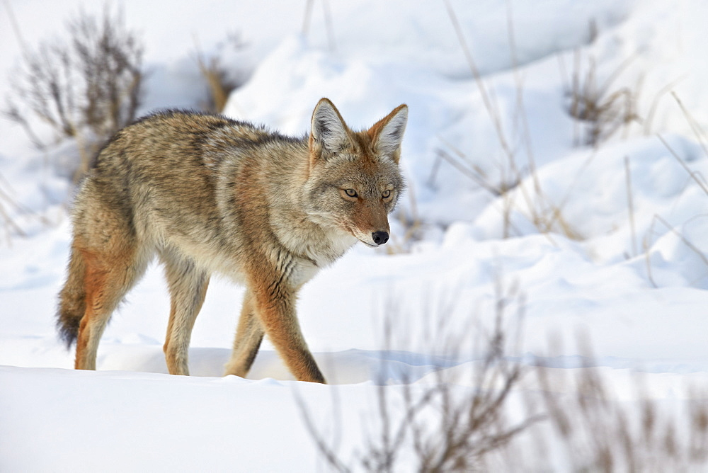 Coyote (Canis latrans) in the snow in winter, Yellowstone National Park, Wyoming, United States of America, North America