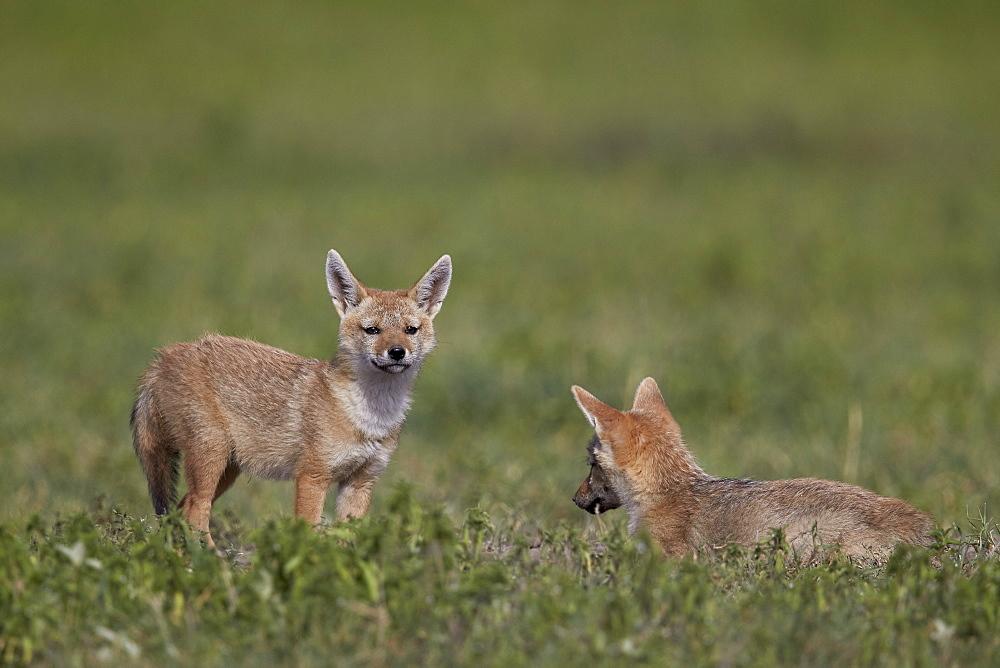 Serengeti jackal (golden jackal) (Canis aureus bea) pups, Ngorongoro Crater, Tanzania, East Africa, Africa