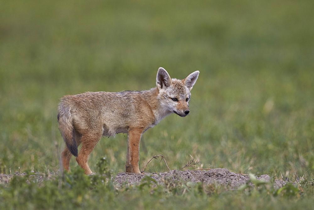 Serengeti jackal (golden jackal) (Canis aureus bea) pup, Ngorongoro Crater, Tanzania, East Africa, Africa