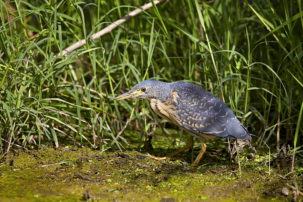 Green-backed heron (striated heron) (Butorides striatus), immature, Ngorongoro Crater, Tanzania, East Africa, Africa