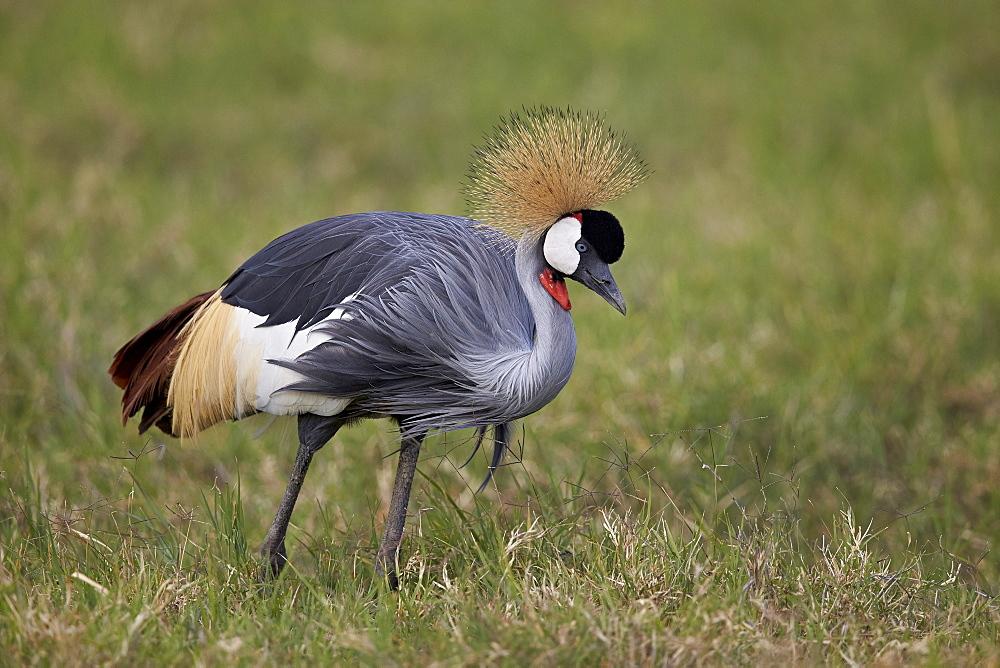 Grey crowned crane (Southern crowned crane) (Balearica regulorum), Ngorongoro Crater, Tanzania, East Africa, Africa