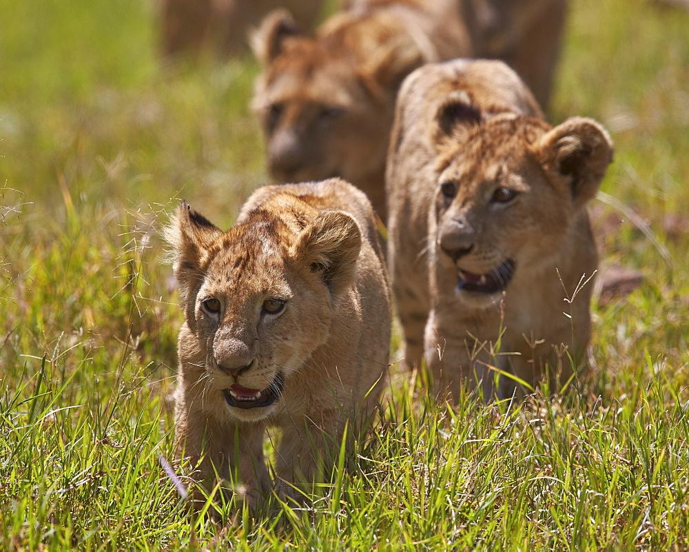 Lion (Panthera Leo) cubs, Ngorongoro Crater, Tanzania, East Africa, Africa