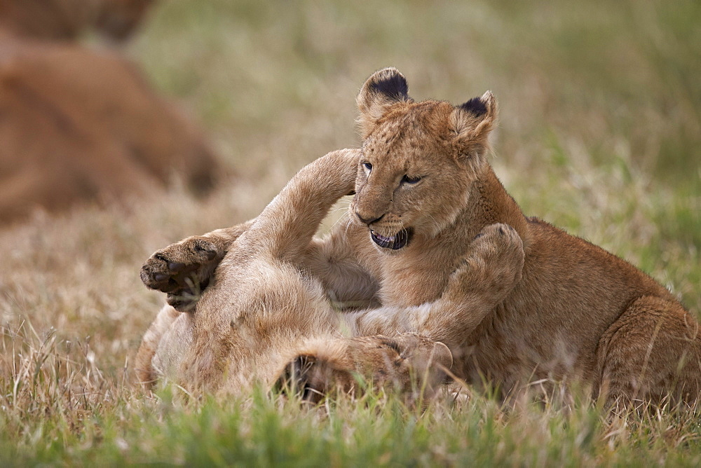 Lion (Panthera Leo) cubs playing, Ngorongoro Crater, Tanzania, East Africa, Africa