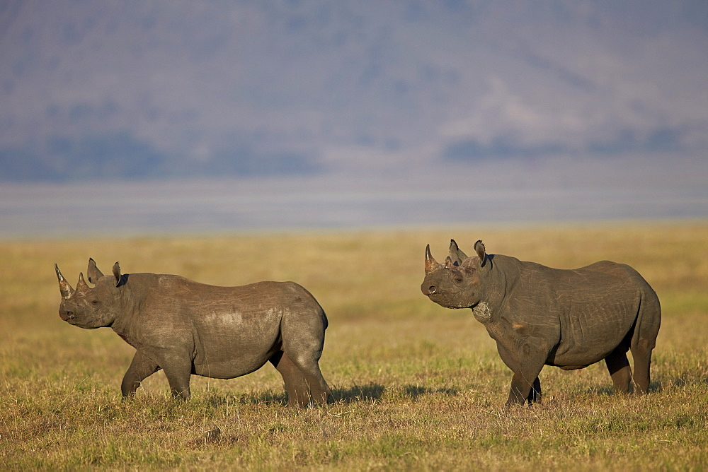 Black rhinoceros (hook-lipped rhinoceros) (Diceros bicornis) pair, Ngorongoro Crater, Tanzania, East Africa, Africa