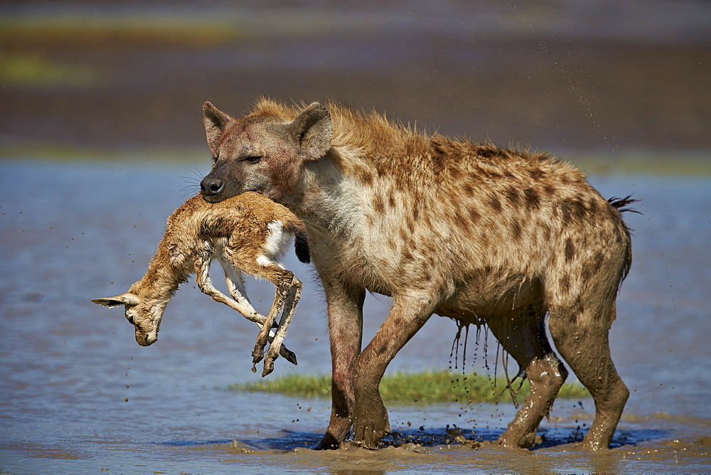 Spotted hyena (spotted hyaena) (Crocuta crocuta) with a baby Thomson's Gazelle (Gazella thomsonii), Ngorongoro Conservation Area, Serengeti, Tanzania, East Africa, Africa