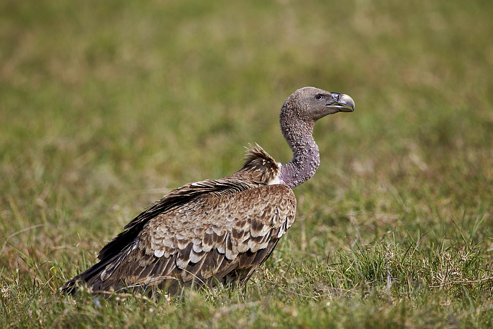 Ruppells griffon vulture (Gyps rueppellii), Ngorongoro Crater, Tanzania, East Africa, Africa