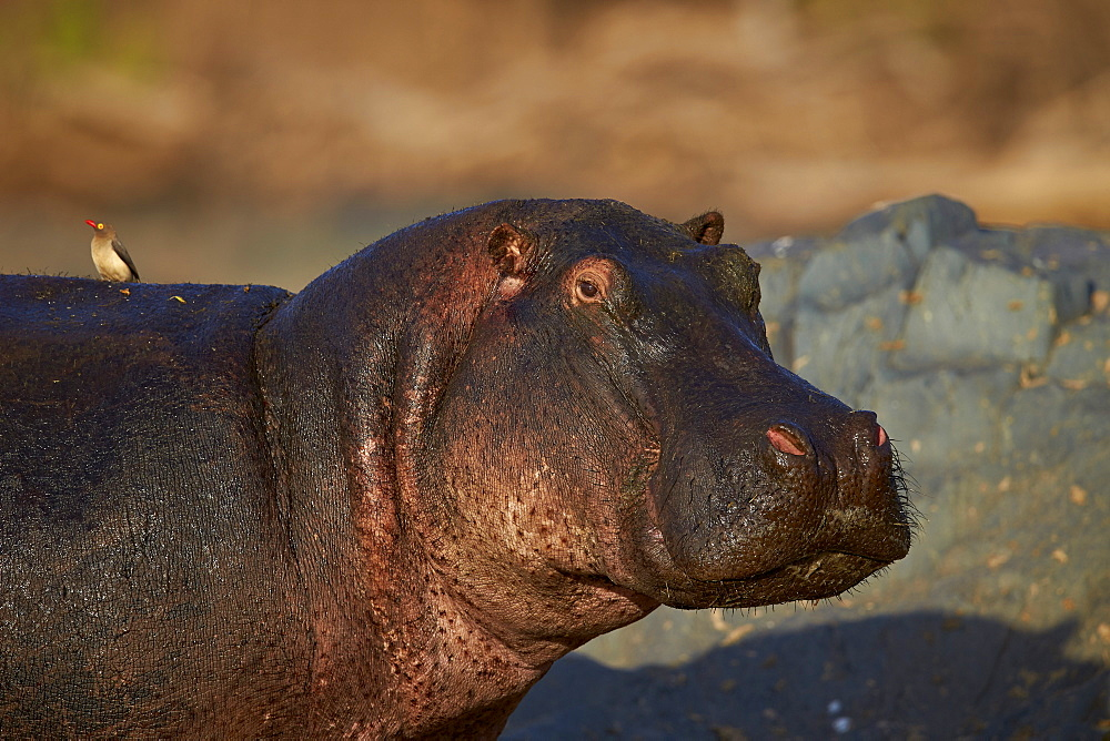 Hippopotamus (Hippopotamus amphibius) with a red-billed oxpecker (Buphagus erythrorhynchus), Serengeti National Park, Tanzania, East Africa, Africa