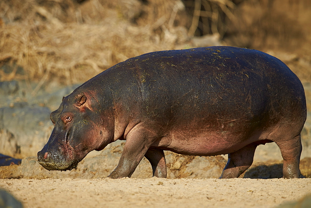 Hippopotamus (Hippopotamus amphibius) out of the water, Serengeti National Park, Tanzania, East Africa, Africa