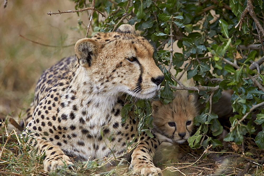 Cheetah (Acinonyx jubatus) mother and cub, about a month old, Serengeti National Park, Tanzania, East Africa, Africa