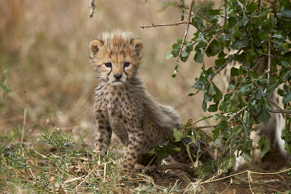 Cheetah (Acinonyx jubatus) cub about a month old, Serengeti National Park, Tanzania, East Africa, Africa