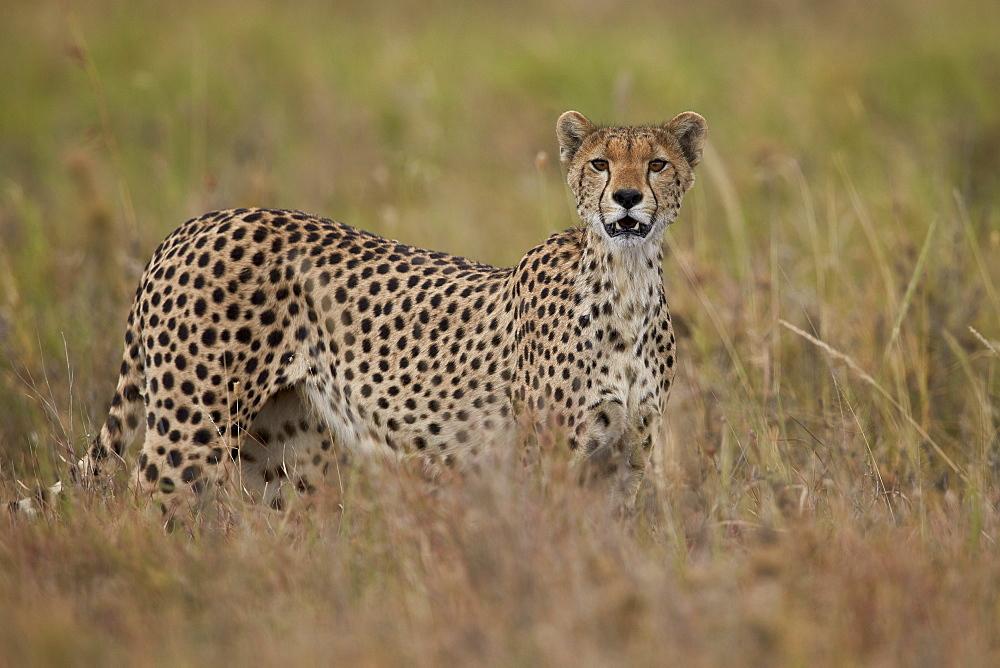 Cheetah (Acinonyx jubatus), Serengeti National Park, Tanzania, East Africa, Africa