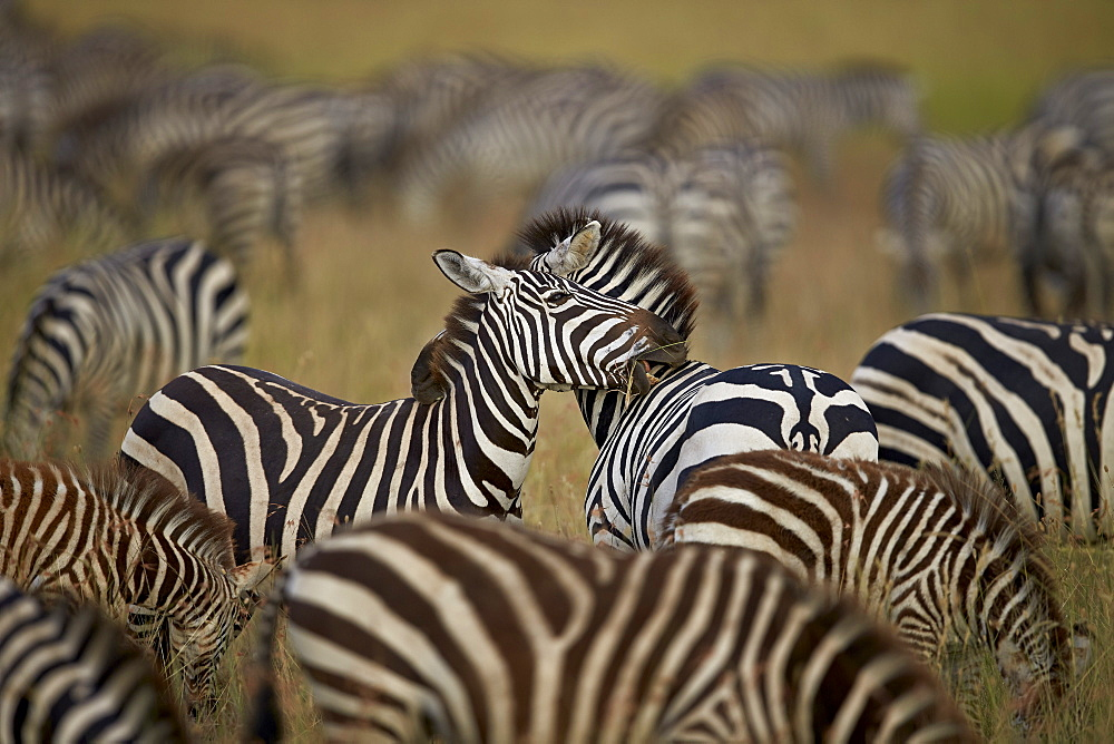 Common zebra (plains zebra) (Burchell's zebr) (Equus burchelli) herd, Serengeti National Park, Tanzania, East Africa, Africa