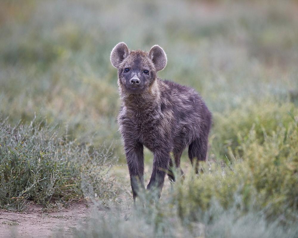 Spotted hyena (spotted hyaena) (Crocuta crocuta) juvenile, Serengeti National Park, Tanzania, East Africa, Africa