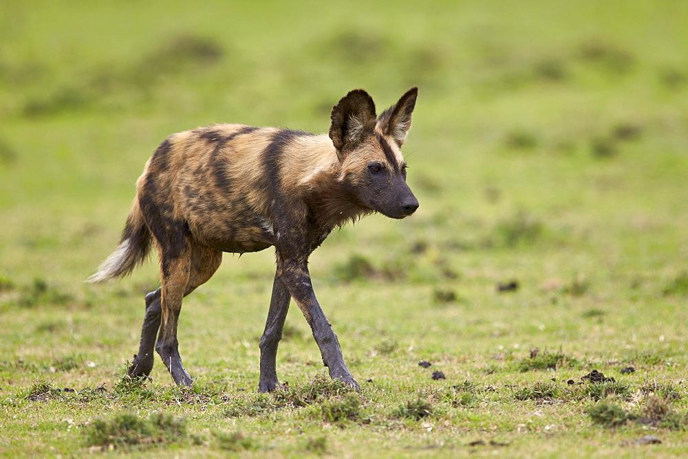 African wild dog (African hunting dog) (Cape hunting dog) (Lycaon pictus), Ngorongoro Conservation Area, Serengeti, Tanzania, East Africa, Africa