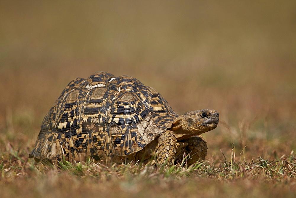 Leopard tortoise (Geochelone pardalis), Ngorongoro Conservation Area, Serengeti, Tanzania, East Africa, Africa