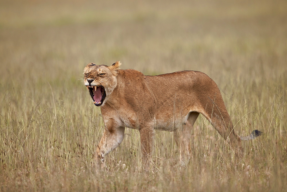 Lioness (Panthera leo) yawning in tall grass, Serengeti National Park, Tanzania, East Africa, Africa