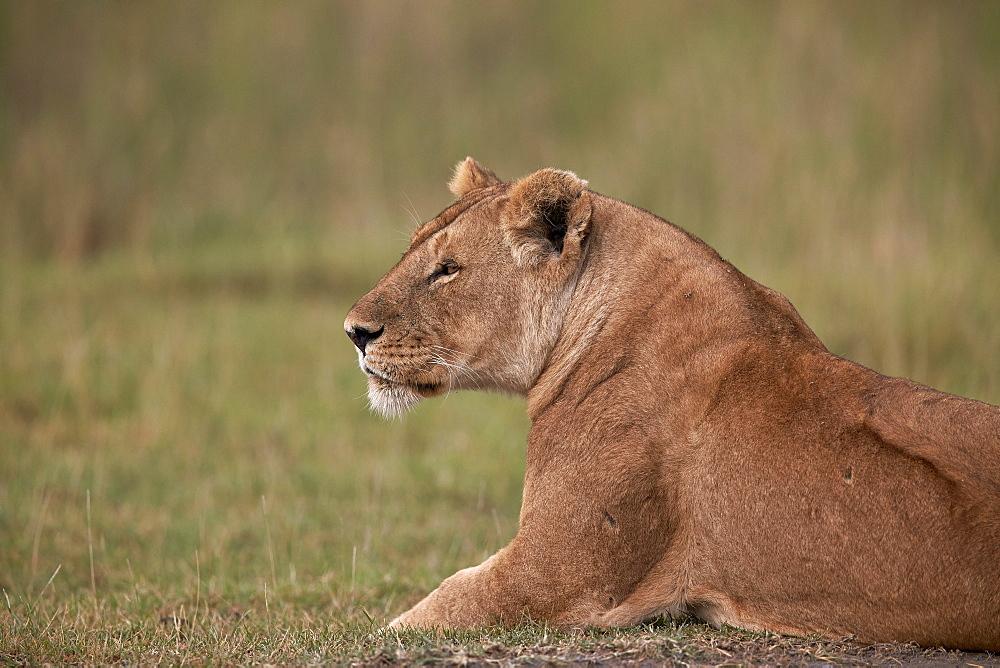 Lioness (Panthera leo), Serengeti National Park, Tanzania, East Africa, Africa