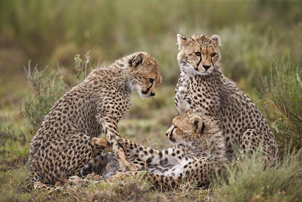 Cheetah (Acinonyx jubatus) cubs, Serengeti National Park, Tanzania, East Africa, Africa