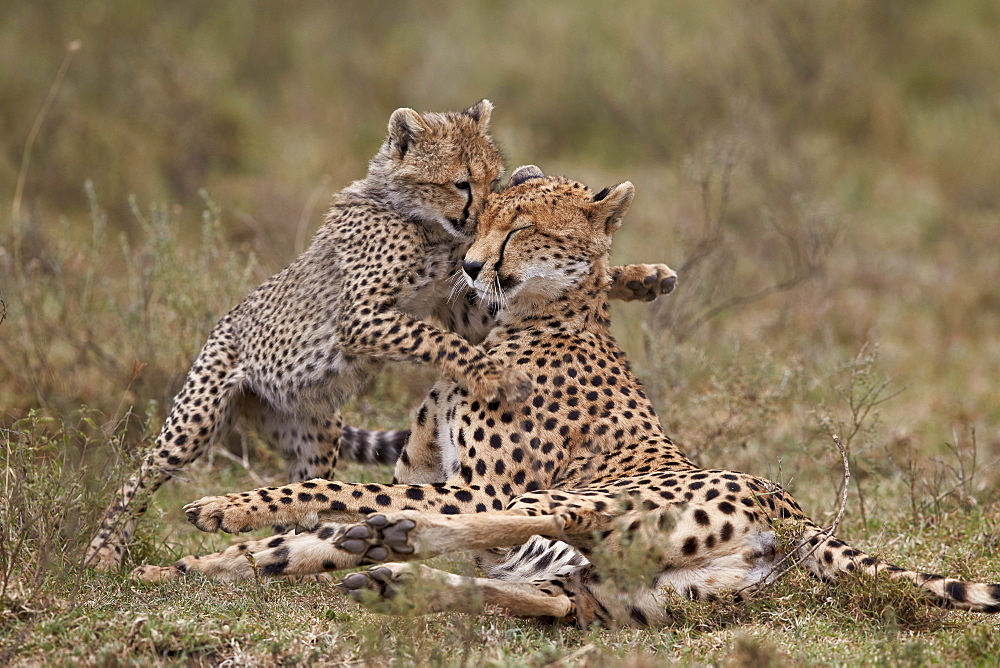 Cheetah (Acinonyx jubatus) mother and cub, Serengeti National Park, Tanzania, East Africa, Africa
