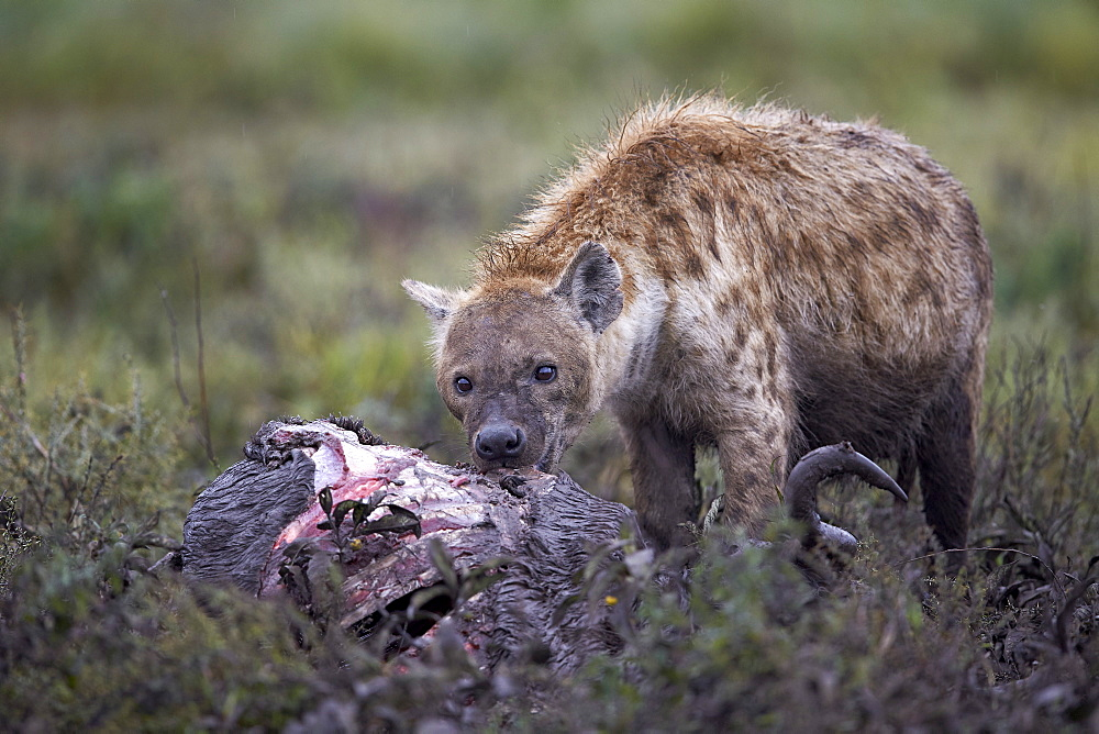 Spotted hyena (Crocuta crocuta) at a blue wildebeest carcass, Ngorongoro Conservation Area, UNESCO World Heritage Site, Serengeti, Tanzania, East Africa, Africa