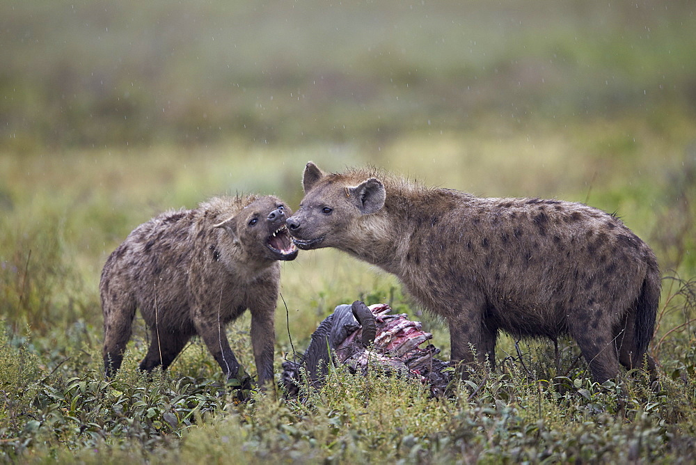Spotted hyena (Crocuta crocuta) at a blue wildebeest (brindled gnu) carcass, Ngorongoro Conservation Area, UNESCO World Heritage Site, Serengeti, Tanzania, East Africa, Africa