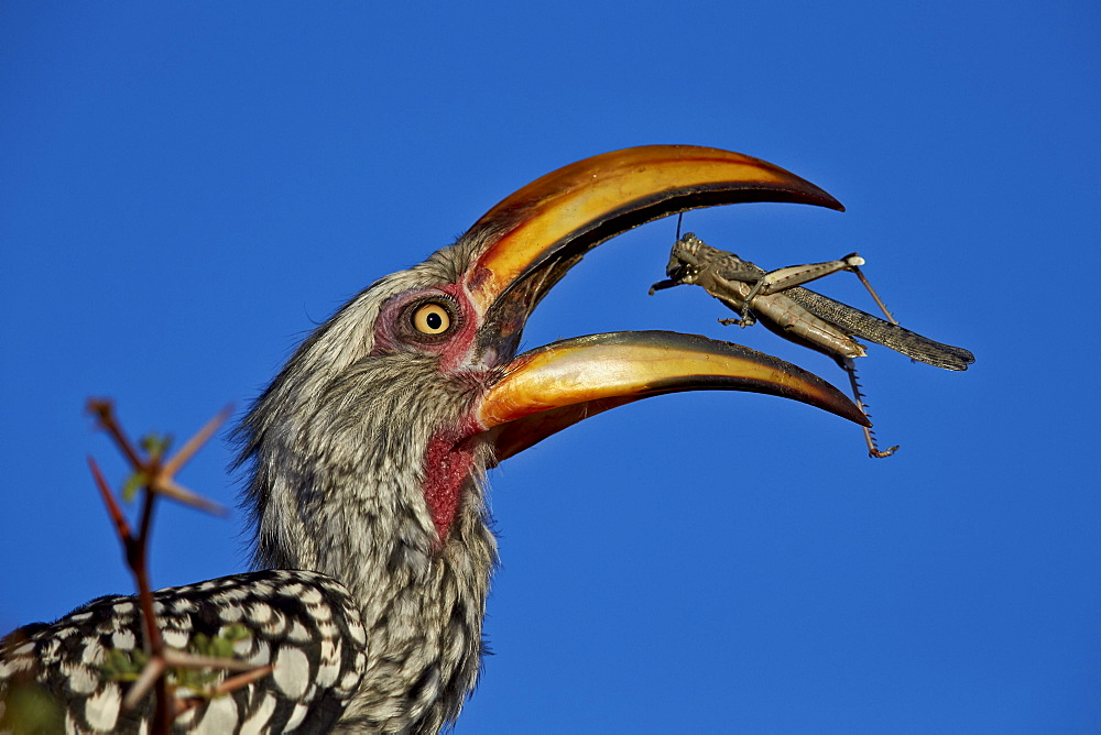 Southern yellow-billed hornbill (Tockus leucomelas) flipping a grasshopper, Kgalagadi Transfrontier Park, encompassing the former Kalahari Gemsbok National Park, South Africa, Africa