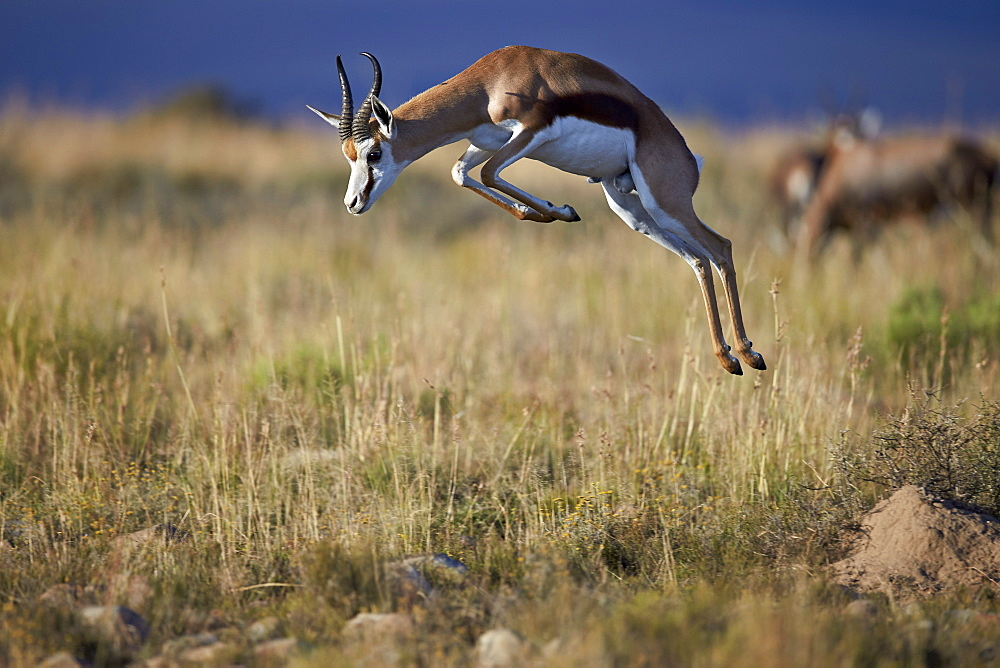 Springbok (Antidorcas marsupialis) buck springing or jumping, Mountain Zebra National Park, South Africa, Africa