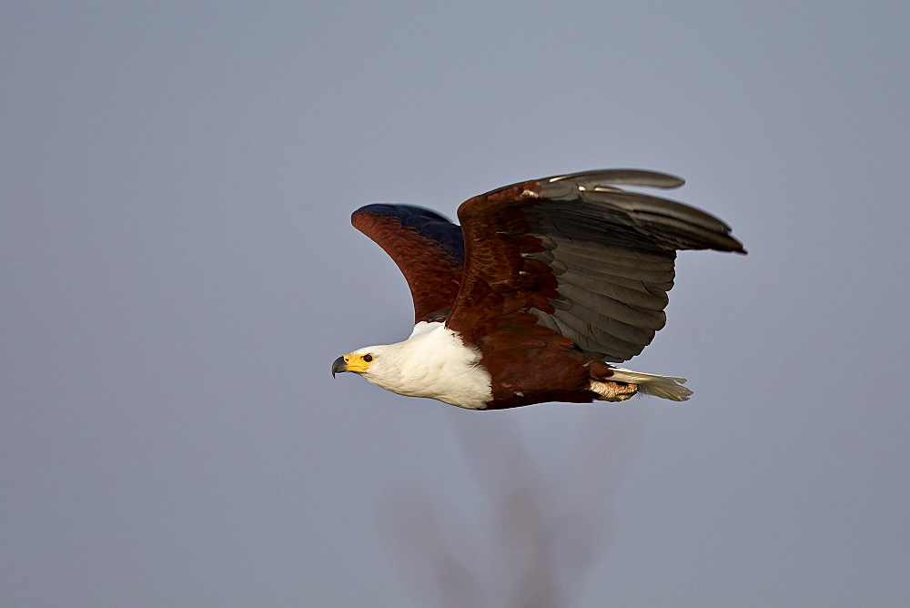 African fish eagle (Haliaeetus vocifer) in flight, Kruger National Park, South Africa, Africa