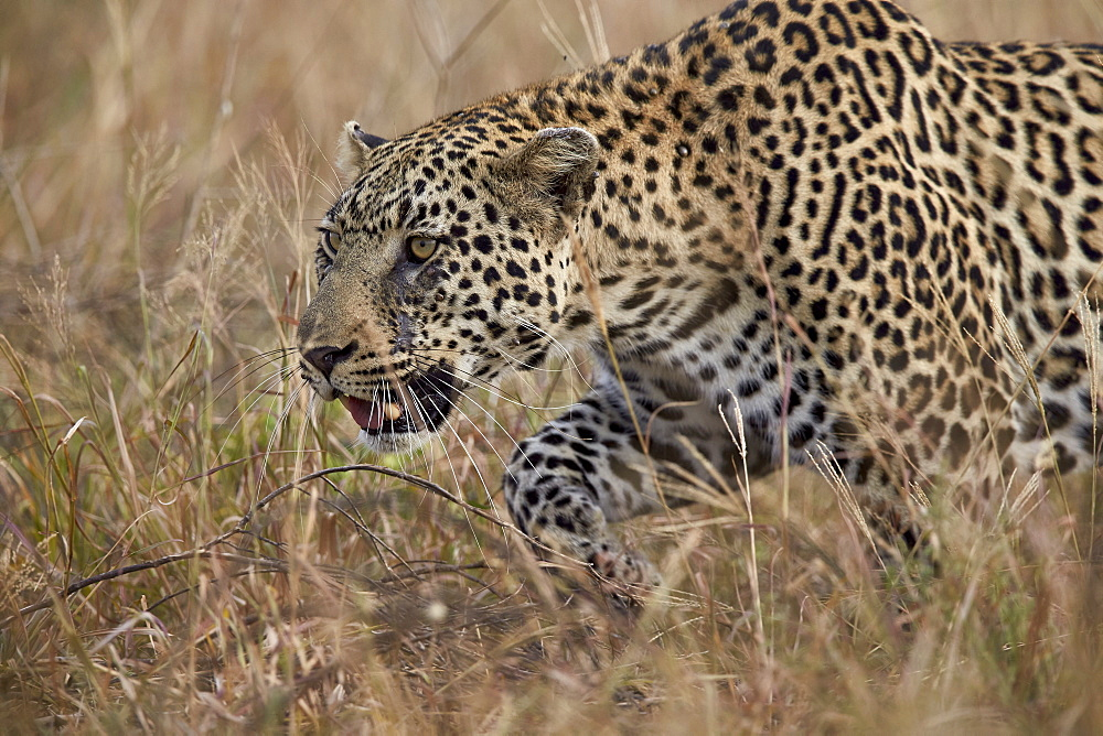 Leopard (Panthera pardus), Kruger National Park, South Africa, Africa