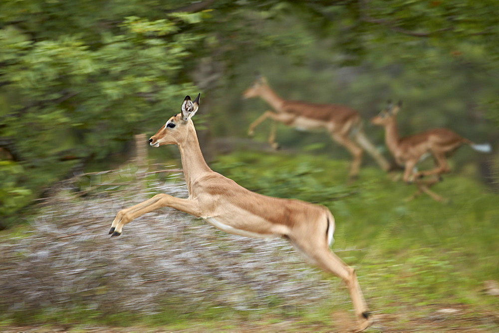 Female impala (Aepyceros melampus) running, Kruger National Park, South Africa, Africa