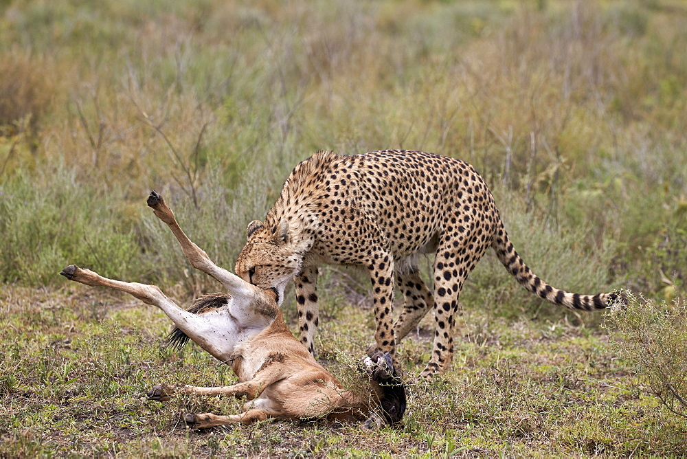 Male cheetah (Acinonyx jubatus) killing a newborn blue wildebeest (brindled gnu) (Connochaetes taurinus) calf, Ngorongoro Conservation Area, UNESCO World Heritage Site, Serengeti, Tanzania, East Africa, Africa